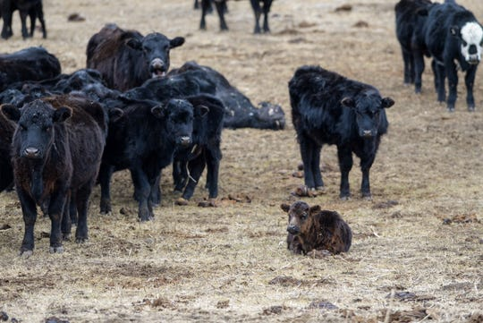 The surviving cows and calves from a herd seized at a ranch west of Cascade wait for hay to arrive on Tuesday afternoon.  Roughly 230 animals were seized and the rancher was charged with aggravated animal cruelty.