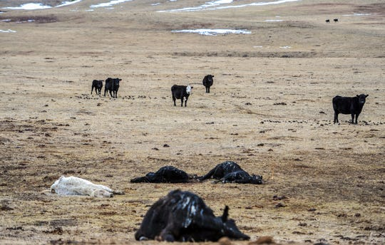 Several cows lay dead all presumed starved to death at a ranch west of Cascade, Tuesday.  The herd of roughly 230 cows and calves was seized by the Cascade County Sheriff's Office and plans were put in place to feed the surviving animals.