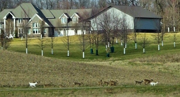 Nearly a dozen whitetail deer, plus two that appear to be rare albino or piebald deer, race along a lane northeast of North Liberty on Saturday afternoon, March 28.