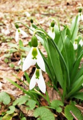 A snowdrop flower along the Oak Leaf Trail in Milwaukee.