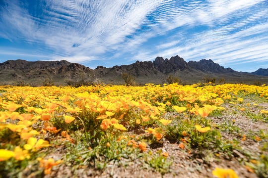 Yellow Poppies cover the landscape at the foot of the Organ Mountains in Las Cruces on Tuesday, March 31, 2020.