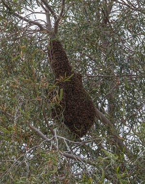 A large bee hive in a tree has neighbor Richard Emmons concerned in Desert Hot Springs.  Emmons says the city will not remove the hive, March 31, 2020.