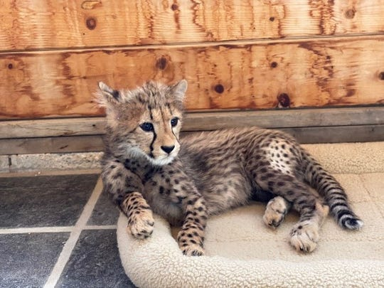 Animal Ark, a wildlife sanctuary north of Reno, has three cheetah cubs on loan.