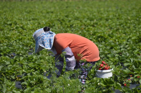 Koy Saechao picks strawberries on March 31, 2020 at her farm in northeast Visalia.