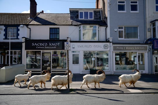 Mountain goats roam the streets of the town of Llandudno in Wales on March 31, 2020.