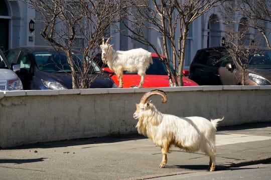 The goats explore Llandudno.