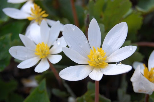 """This New Jersey native plant, """"bloodroot,"""" is named for its red sap."""