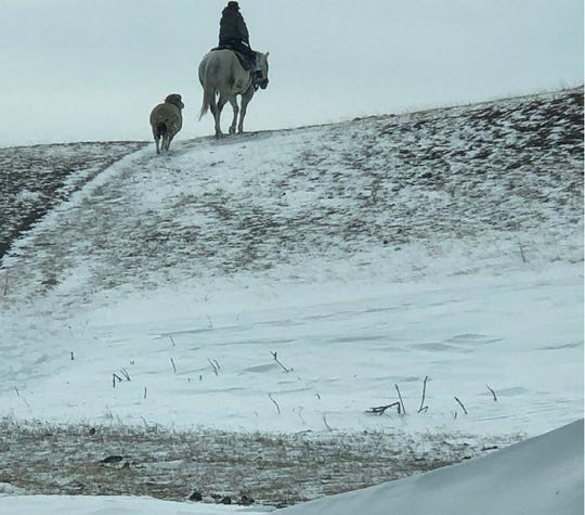 """Lisa Schmidt's lovesick ewe follows """"her"""" out to gather cattle."""
