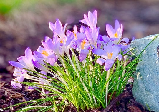 Pretty in purple, crocus open their blooms in the morning light.