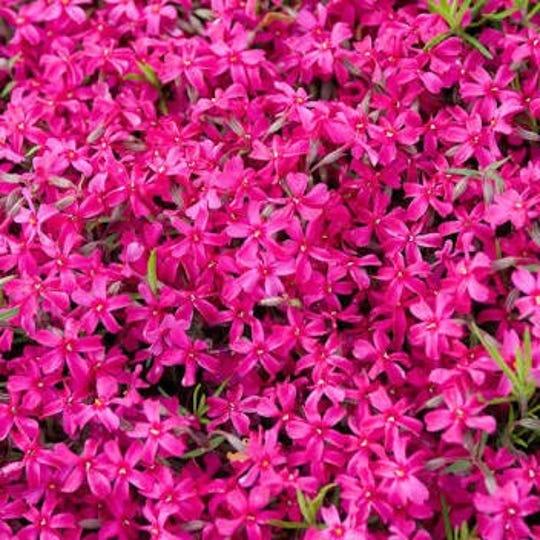 Red carpet phlox is a low-growing, dense spring flower.
