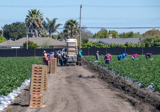 Norcal harvesting fieldworkers pick strawberries early morning on March 31, 2020.