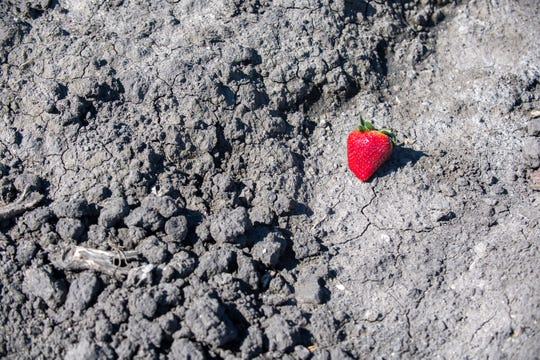 A lone strawberry on March 31, 2020.