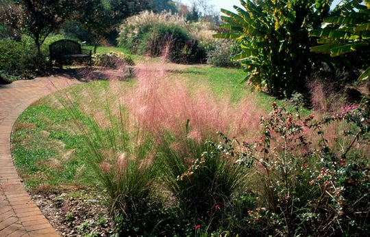 Pink muhly grass (Muhlenbergia capillaris) is a medium height ornamental grass that can be a good alternative to traditional lawn grasses.