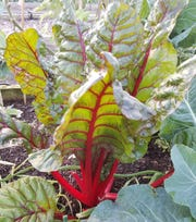 Swiss chard is beautiful, delicious and easy to grow.