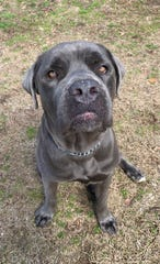 Blu, a Cane Corso mix, is currently in foster care thanks to Voorhees residents Mandi Houser-Puschel and Chad Puschel.