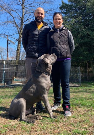 "Chad Puschel and Mandi Howser-Puschel with Blu, a Cane Corso mix they are currently fostering through Homeward Bound Animal Shelter. Puschel admits, ""We've fallen in love with him."""
