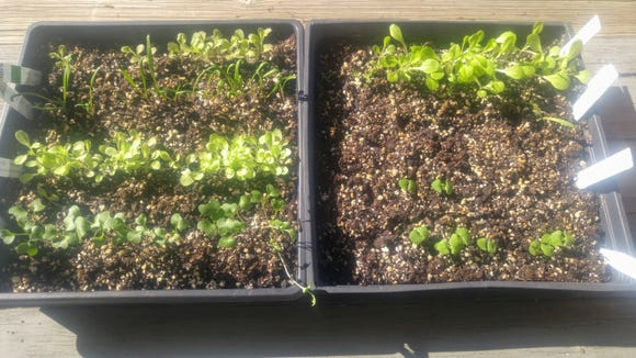 These broccoli, spinach and lettuce seedlings are being grown indoors under fluorescent lights in front of a bright, east-facing, sunlit window.