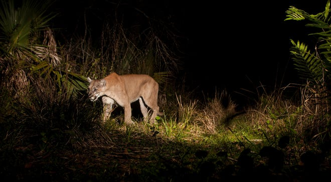 A Florida panther trips a motion sensor camera set up by a News-Press photographer at Corkscrew Regional Ecosystem Watershed in late March 2020. Endangered species such as the panther are threatened by habitat losses.