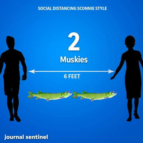 Social Distancing, Sconnie Style: Muskellunge, the Wisconsin state fish, average in size from 28 to 48 inches, with the state's minimum length limit to keep one you catch at 40 inches. To be safe, stay two muskies away from others.