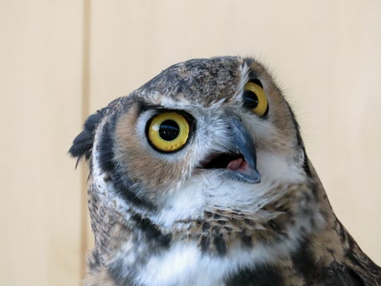 Great horned owls, along with other owls, have eyes that are specially adapted for seeing at night.