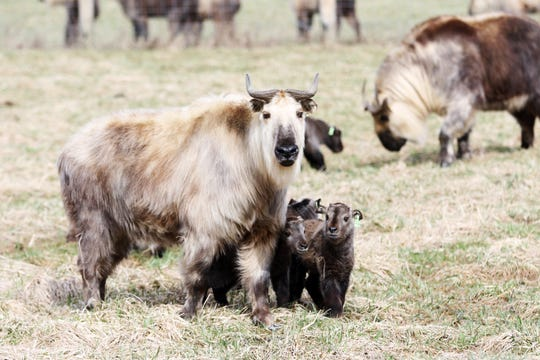 The Wilds expects to add more takins as springtime babies arrive. Due to Ohio Gov. Mike DeWine's stay-at-home order, the private, non-profit safari park and conservation center is seeking financial support.
