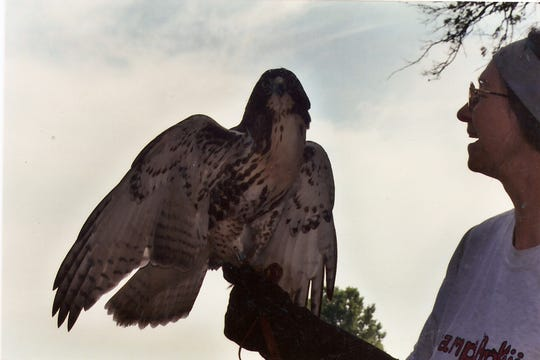 "Barbara Harvey ""the Bird Lady"" with one of her hawks."