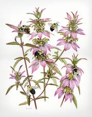 Monarda punctata & Bombus spp., watercolor.