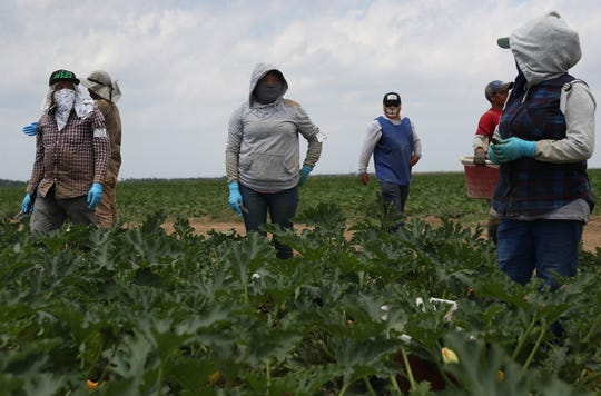 Farmworkers harvest zucchini on the Sam Accursio & Son's Farm in Florida City, Florida.