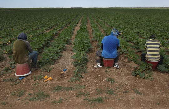 Farmworkers prepare to harvest squash on the Sam Accursio & Son's Farm in Florida City, Florida.