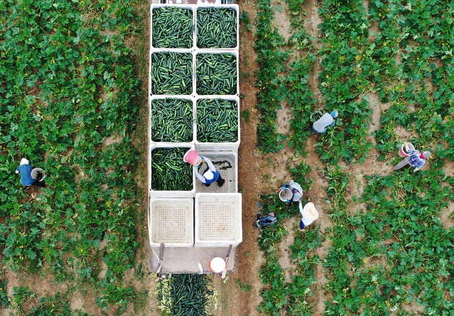 An aerial drone view shows farmworkers as they fill up bins in the back of a truck with zucchini as they harvest on the Sam Accursio & Son's Farm in Florida City, Florida.