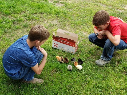Harvey, left, and Henry Prejean, 4-H members in Allen Parish, admire chicks they're raising. The boys and their family also built a raised garden bed and planted vegetables. Louisiana 4-H continues to maintain connections with the members in their club.