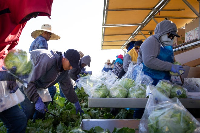 Farmworkers harvest iceberg lettuce on April 2 near Wellton, Arizona. Growers say vegetable-packing companies are working on changing procedures to encourage more social distancing to limit the spread of coronavirus.