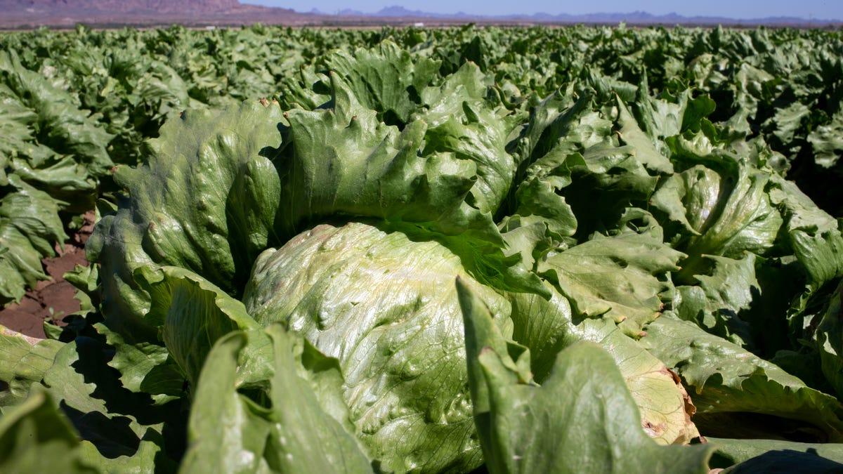 Farmworkers harvesting vegetables in Yuma amid coronavirus pandemic