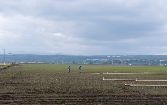 Two fieldworkers are photographed walking apart from one another in Salinas.