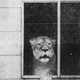 A lioness named Bunji makes an appearance at the window of her home in a Newport neighborhood in 1982.