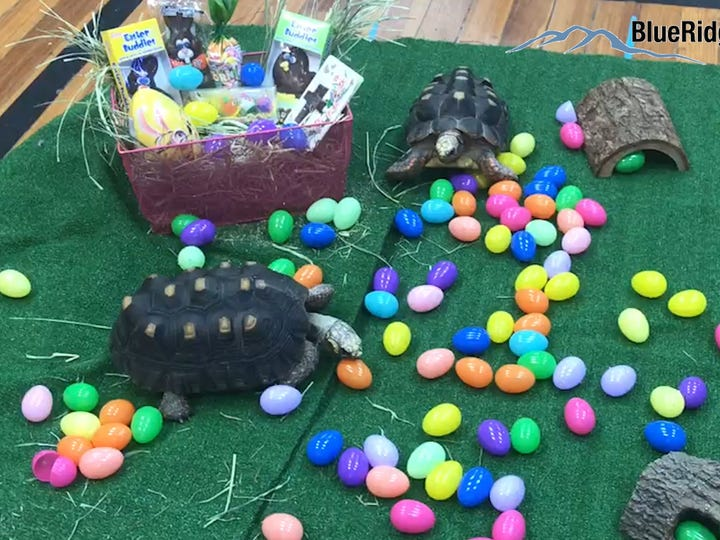 Find out how many Easter eggs you can find at the Aquarium & Shark Lab by Team ECCO in the Blue Ridge Mountains of North Carolina.