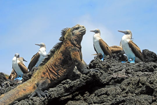 An iguana looking at the blue-footed boobies on Isabela Island in the Galapagos.