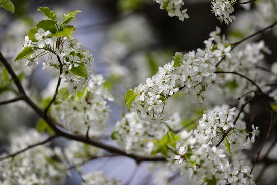 A Bradford pear tree, a popular cultivar of Callery pear, is shown in blossom.