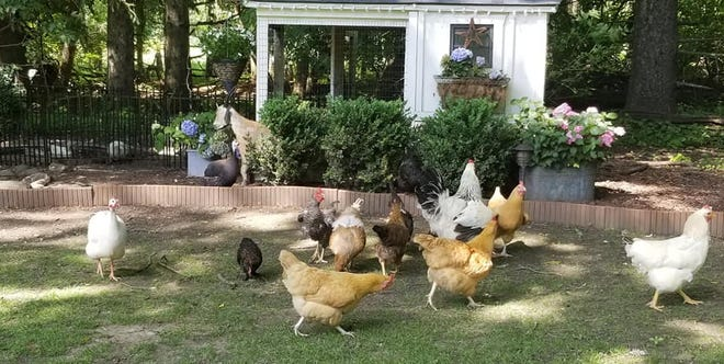 Chickens abound at Royal Roost coop in Pewaukee. Recently, the Oconomowoc Common Council approved chickens in the city.