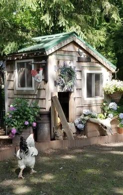 Backyard Chicken Coops A Popular Way To Get Eggs During Coronavirus