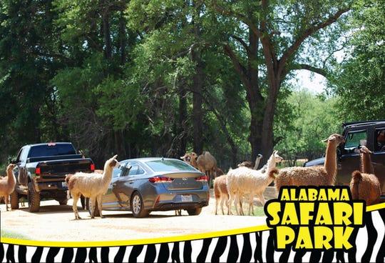 The animals visit passing cars at Alabama Safari Park in Hope Hull.
