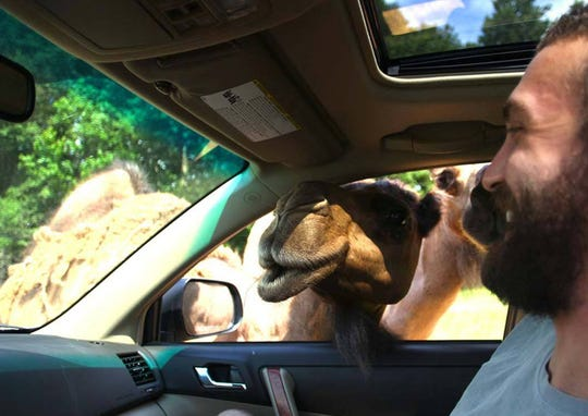 A curious camel might poke his head in your vehicle at Alabama Safari Park in Hope Hull.