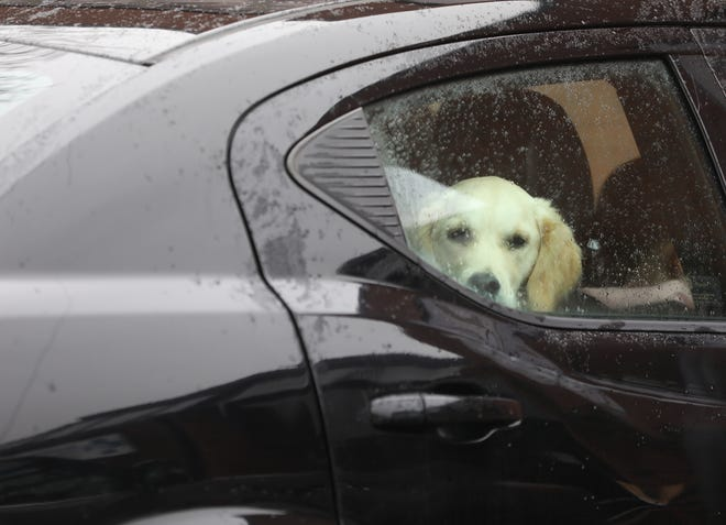 Many veterinarian hospitals, including Pittsford Animal Hospital, are closed to people going inside the hospital to prevent the spread of COVID-19, instead they call after they arrive with their pets on Saturday, April 4, 2020.  Iris the Golden Retriever looks at her owner outside the car.