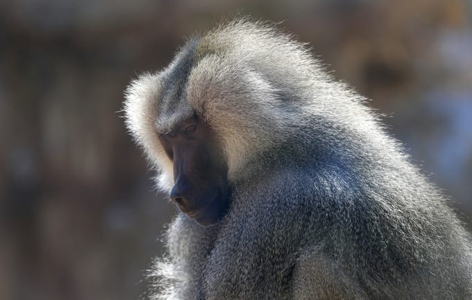 Moja, a hamadryas baboon, sits on a rock in his enclosure at the Phoenix Zoo on April 3, 2020. The primates seem to be most impacted by the lack of human stimuli.