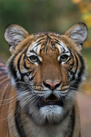 This 4-year-old Malayan tiger at the Bronx Zoo has tested positive for COVID-19.