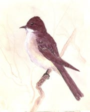 The only member of the flycatcher family that resides with us year-round is the eastern Phoebe, which characteristically places its nest on shelves or other flat areas around houses and other buildings.