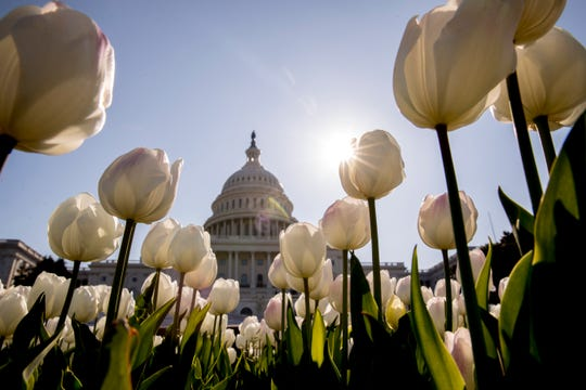 The dome of the U.S. Capitol Building is visible through tulips, Monday, April 6, 2020, in Washington.