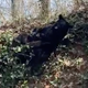 A bear frolicks in the leaves at Shopes' Mountain Vacation Homes in Chalet Village, Gatlinburg.