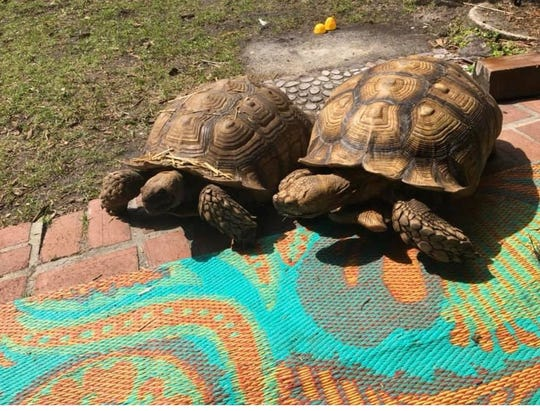 Pet African spurred tortoises, Spike and Gus, were returned to their Naples owners on April 7, 2020 after an investigation from the Naples Police Department.