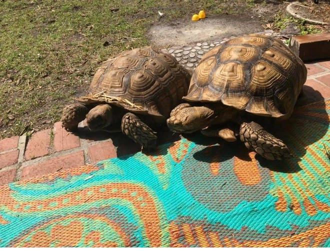 The Naples Police Department is investigating the theft of two pet African spurred tortoises that went missing on  April 3, 2020. The tortoises, Gus and Spike, were cared for and owned by Christina Kraus and her mother Maura Kraus.